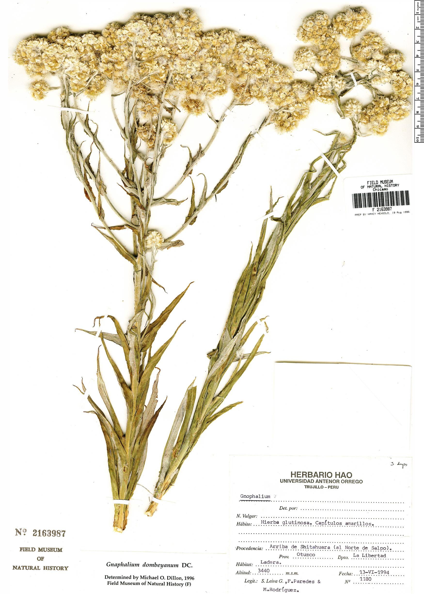 Specimen: Gnaphalium dombeyanum