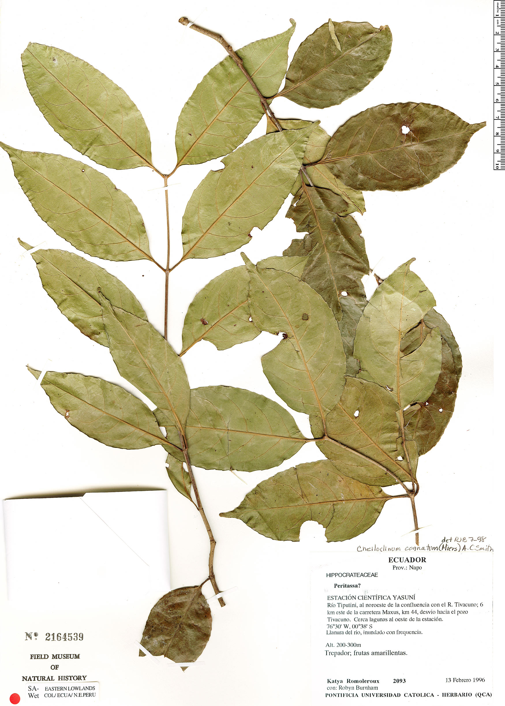 Espécimen: Cheiloclinium hippocrateoides