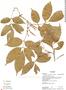 Paullinia microneura Cuatrec., Ecuador, K. Romoleroux 2116, F