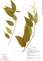 Chamissoa altissima (Jacq.) Kunth, Ecuador, K. Romoleroux 1887, F