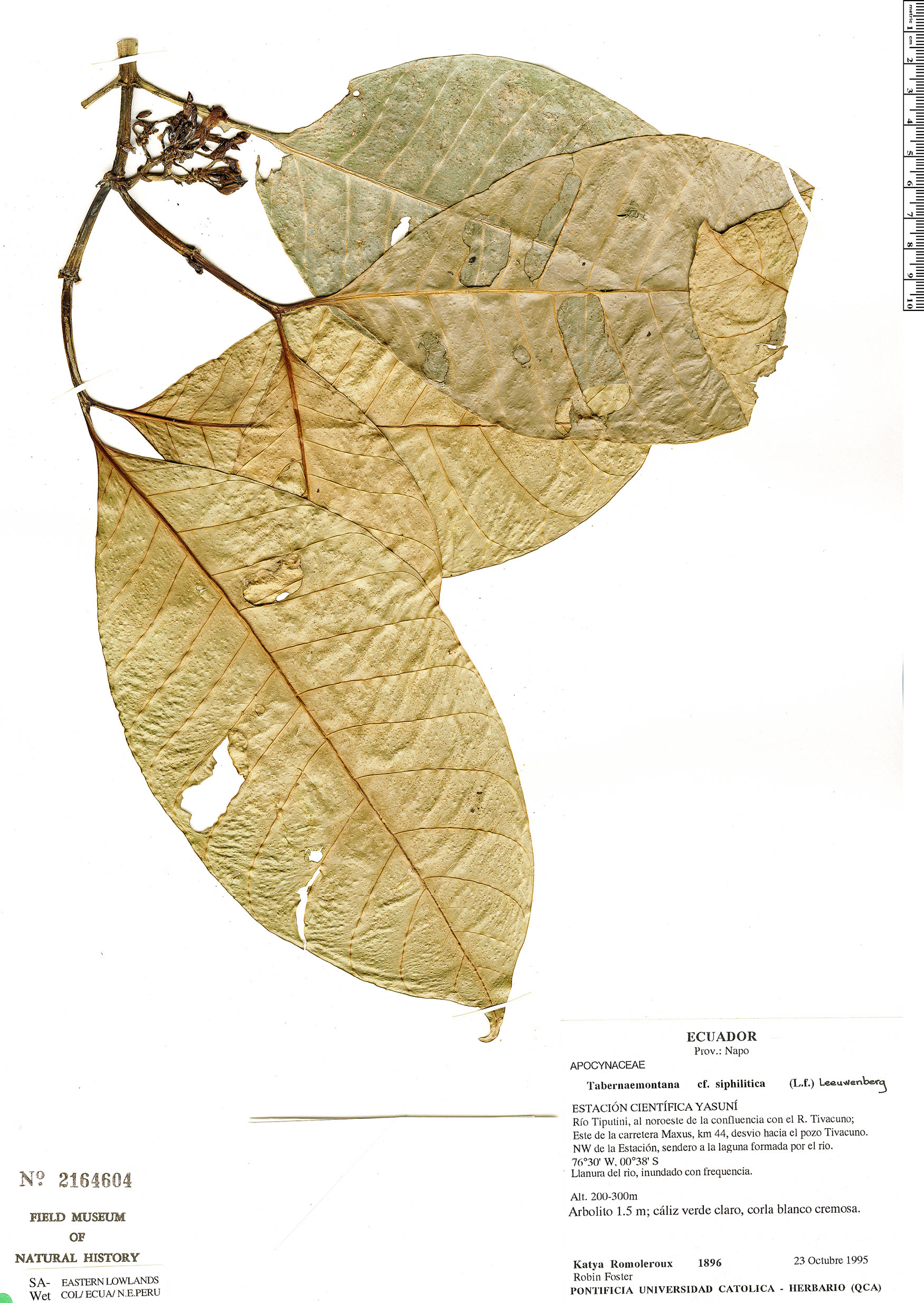 Espécimen: Tabernaemontana siphilitica