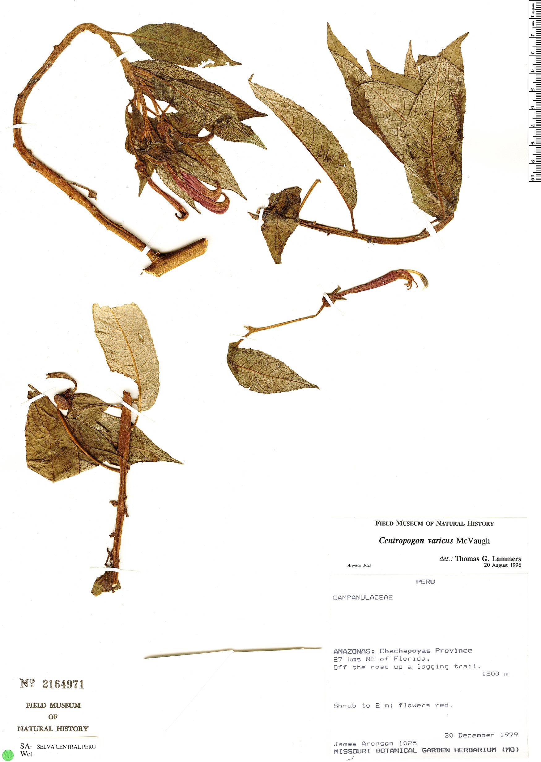 Specimen: Centropogon varicus