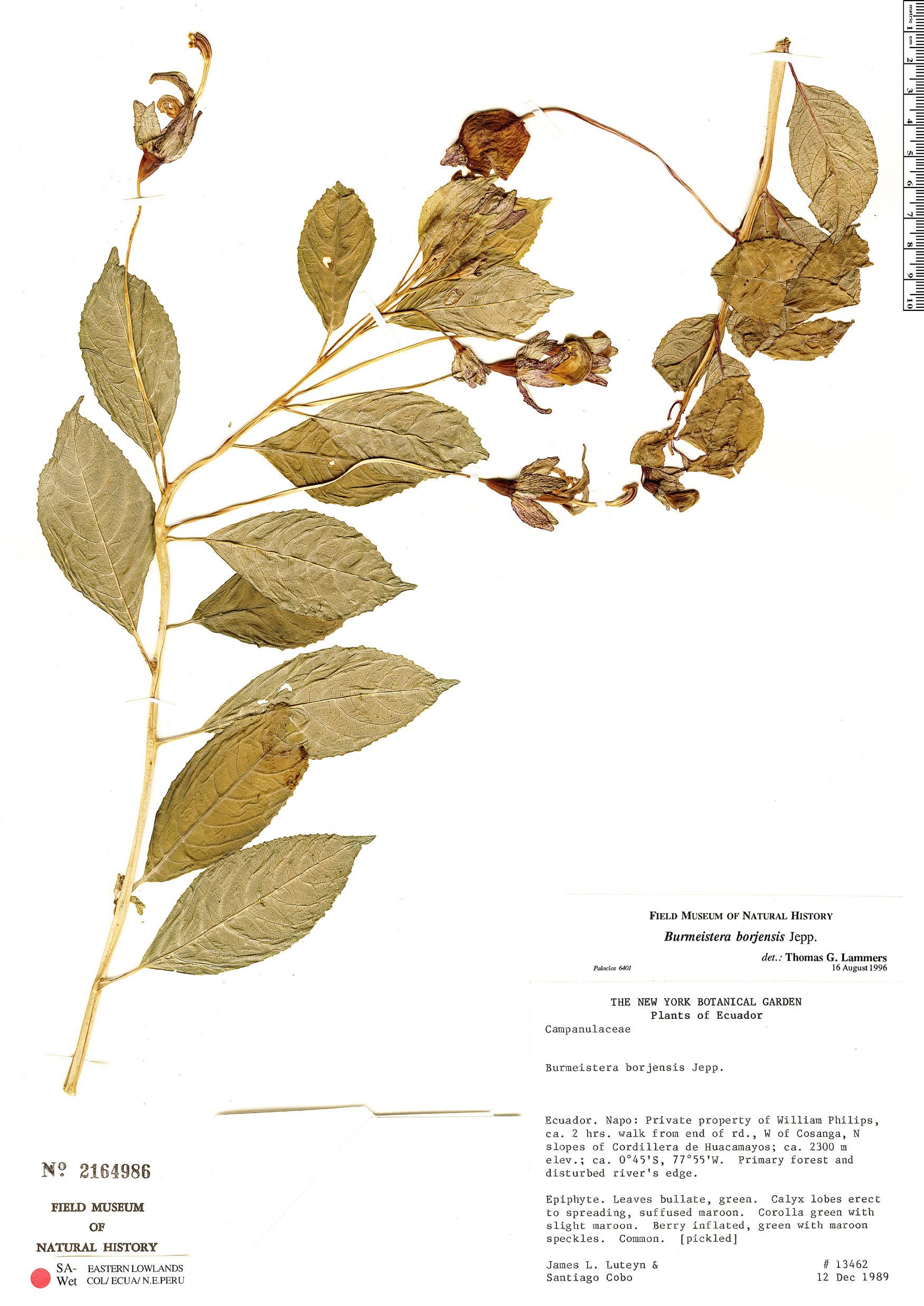 Burmeistera borjensis image
