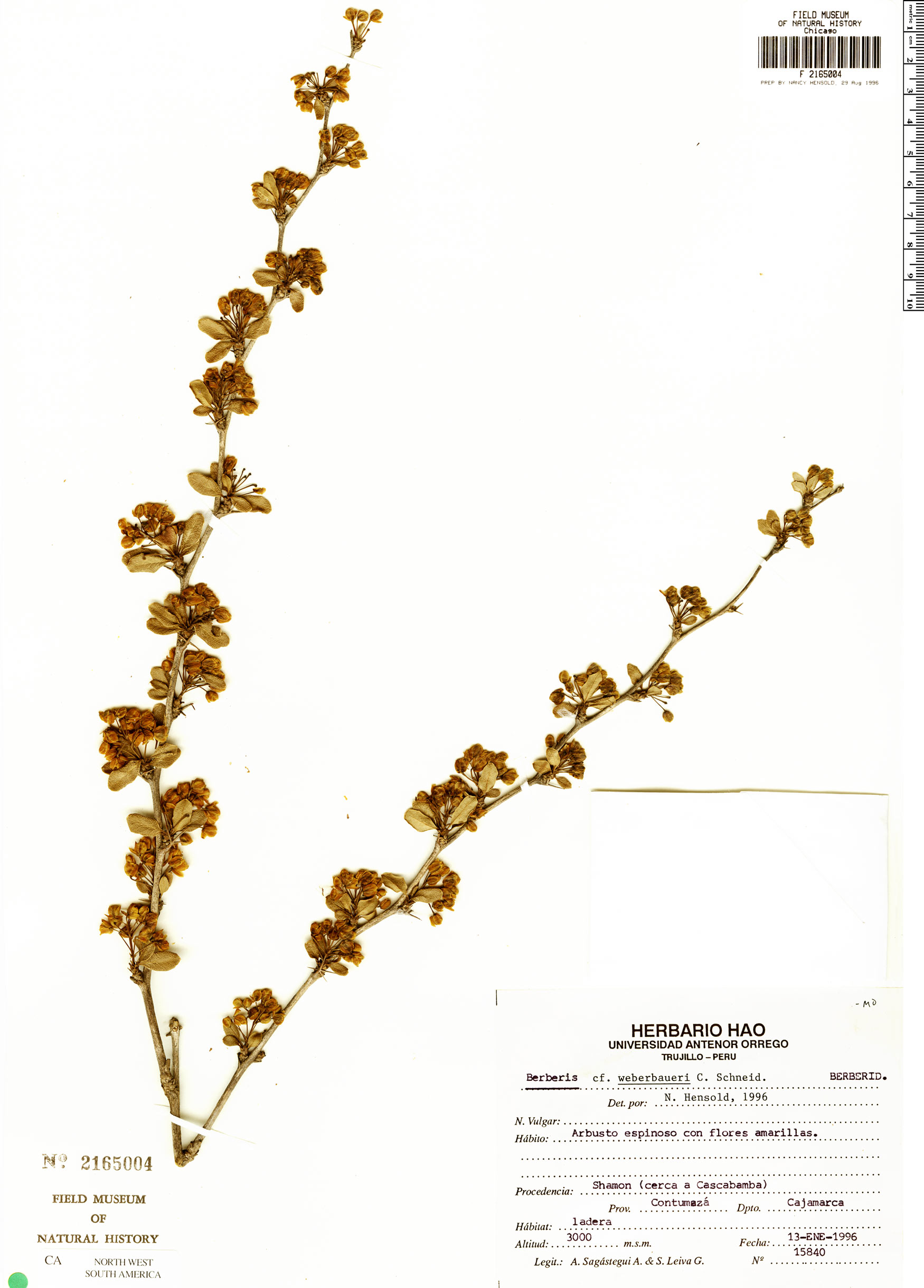 Espécime: Berberis weberbaueri