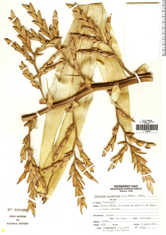Specimen: Tillandsia sagasteguii