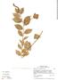 Burmeistera crispiloba image