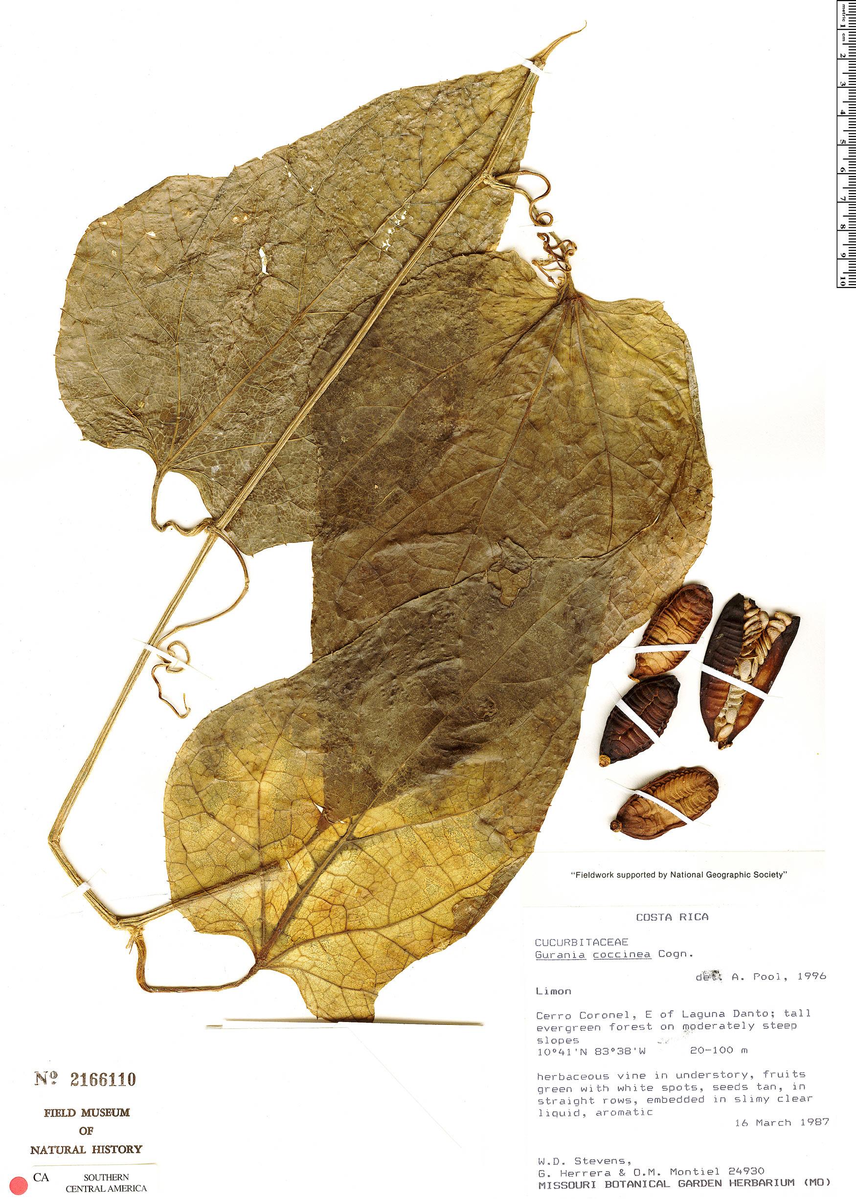 Specimen: Gurania costaricensis