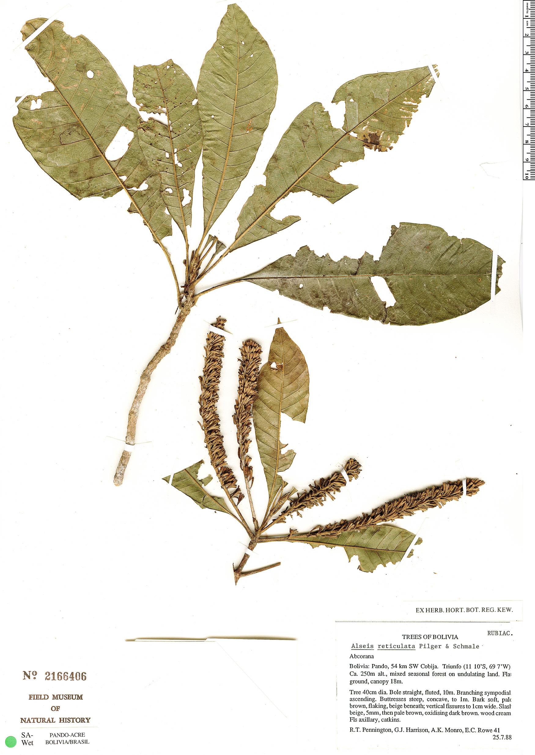 Specimen: Alseis reticulata