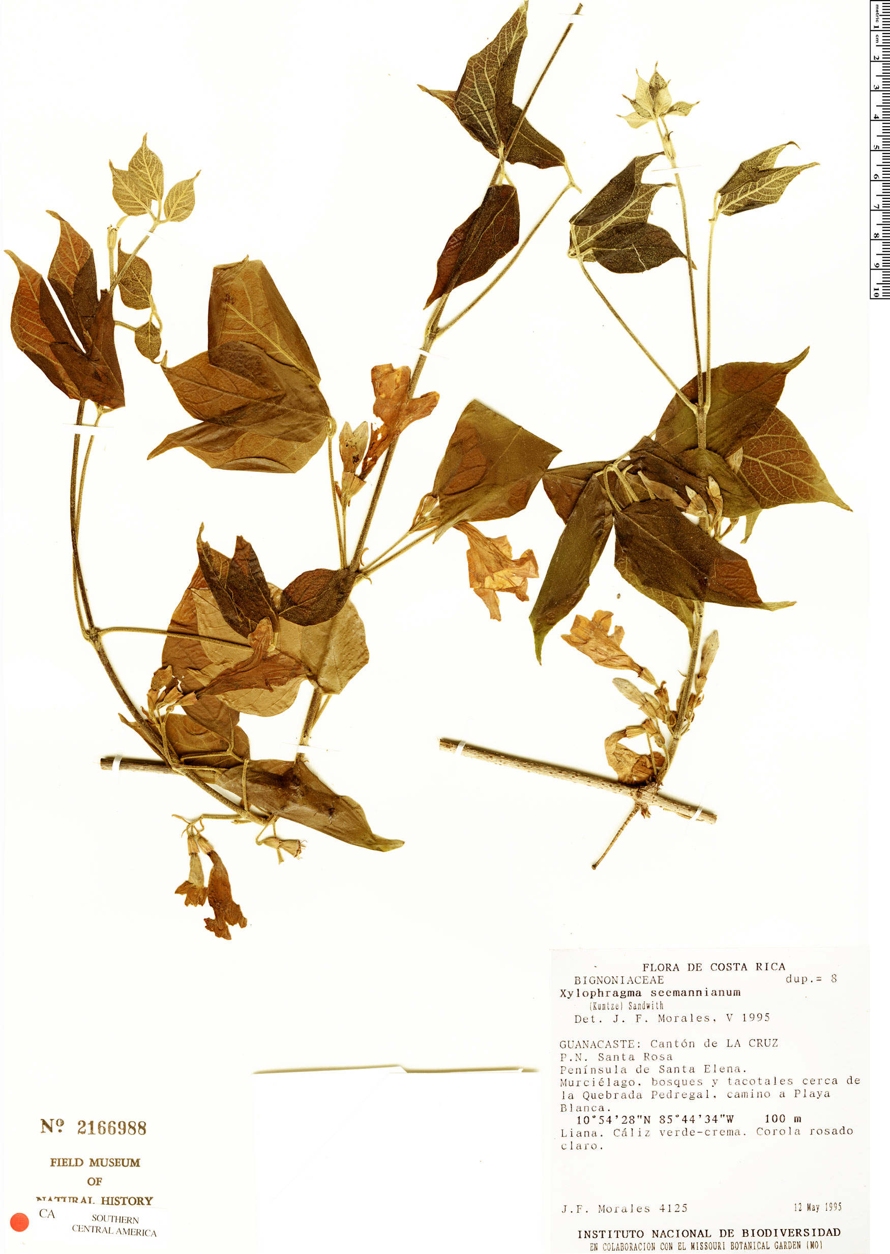 Specimen: Xylophragma seemannianum