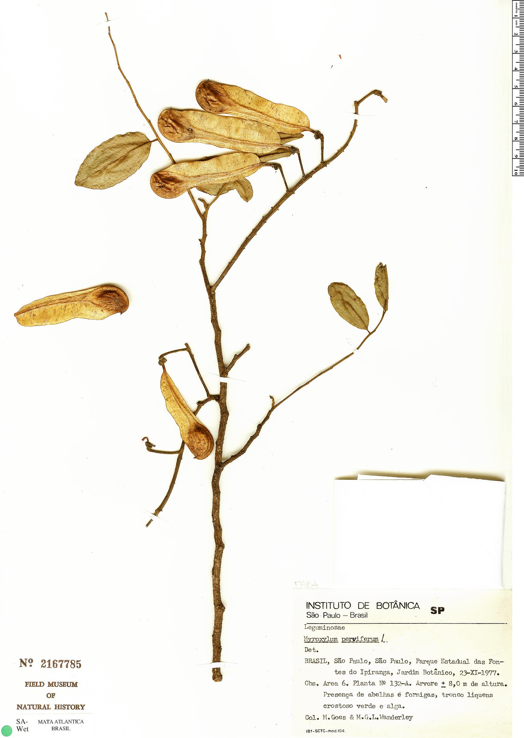 Specimen: Myroxylon peruiferum