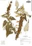 Salvia lanicaulis Epling & Játiva, Peru, I. M. Sánchez Vega 7032, F
