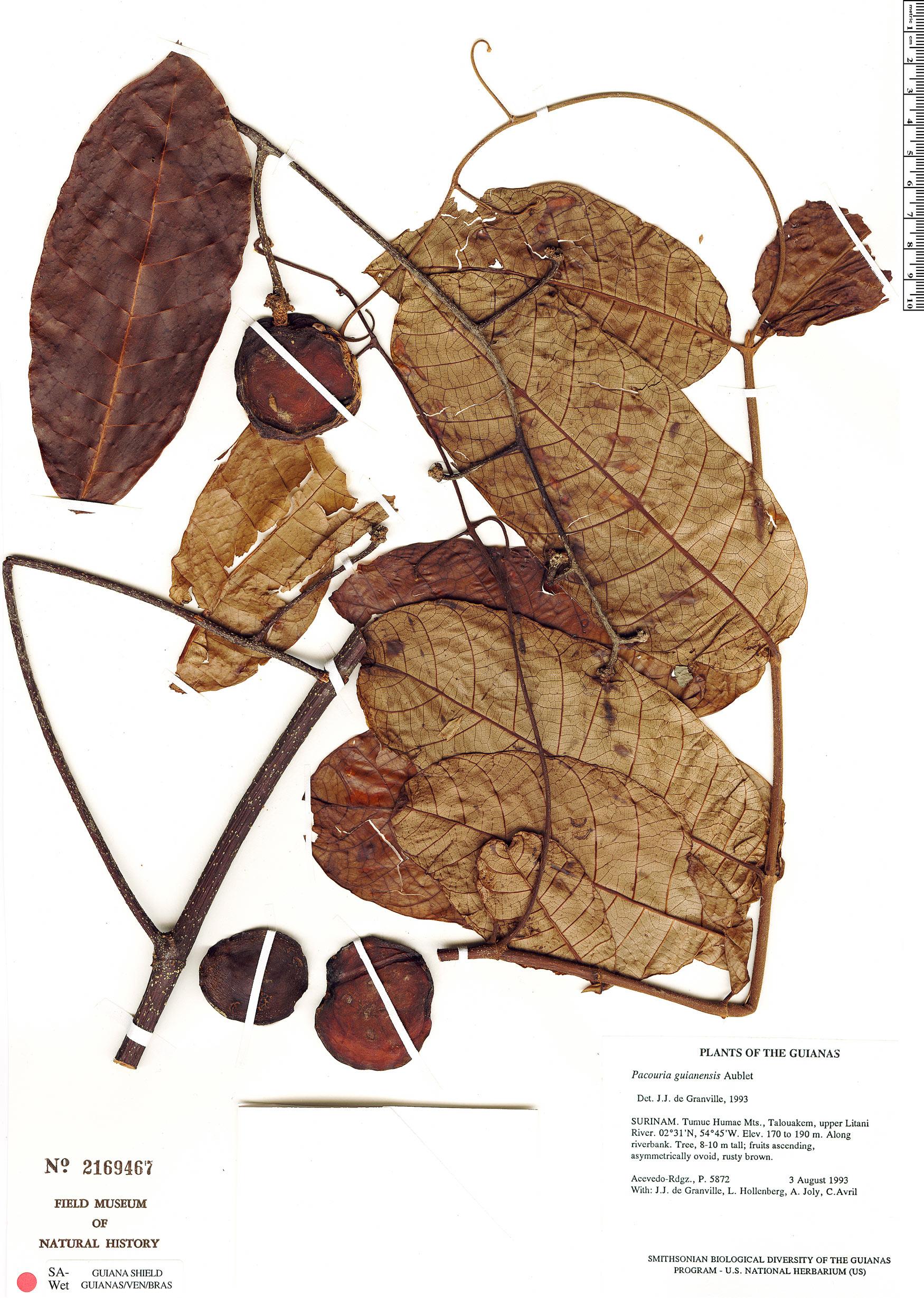 Specimen: Pacouria guianensis