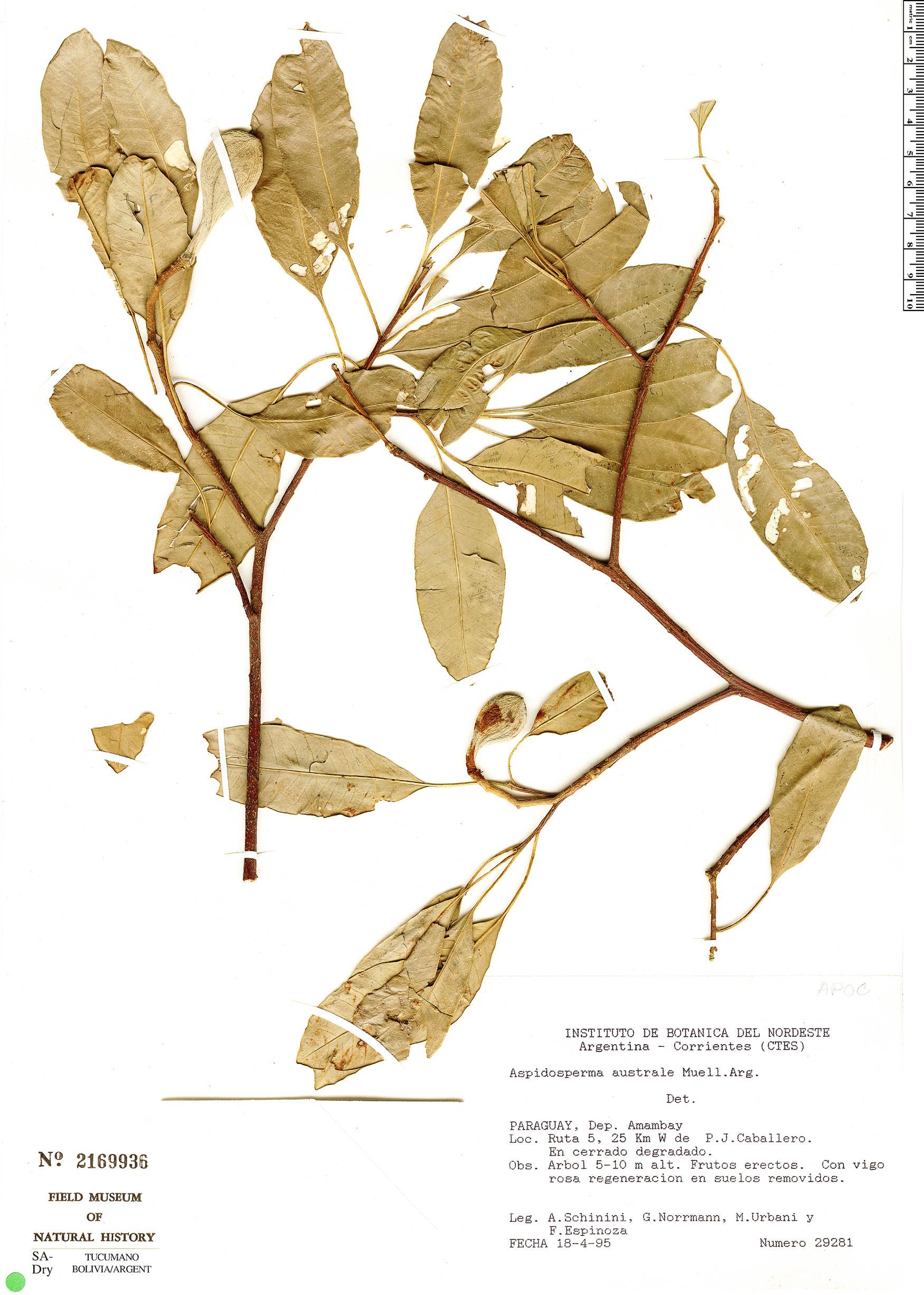 Specimen: Aspidosperma australe