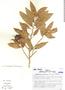 Naucleopsis oblongifolia, Brazil, R. R. Oliveira 725, F