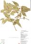 Rauvolfia nitida Jacq., DOMINICAN REPUBLIC, R. García 6028A, F