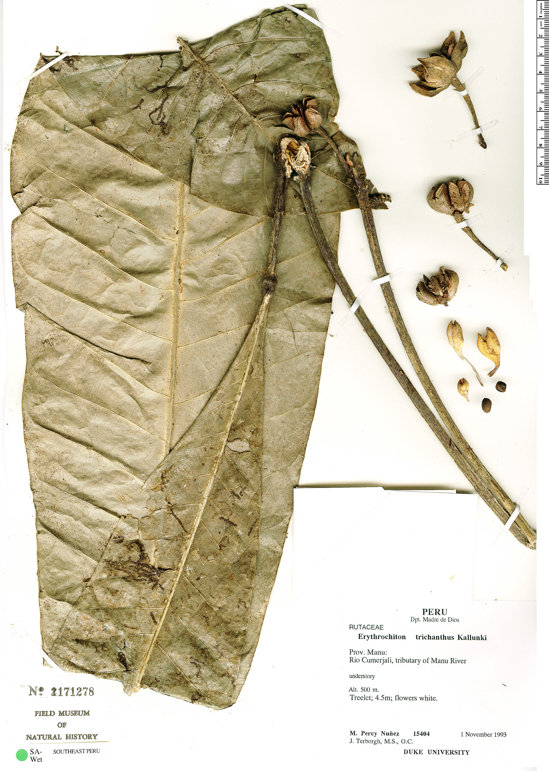 Specimen: Erythrochiton trichanthus