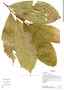 Couratari guianensis Aubl., Ecuador, R. B. Foster 15674, F
