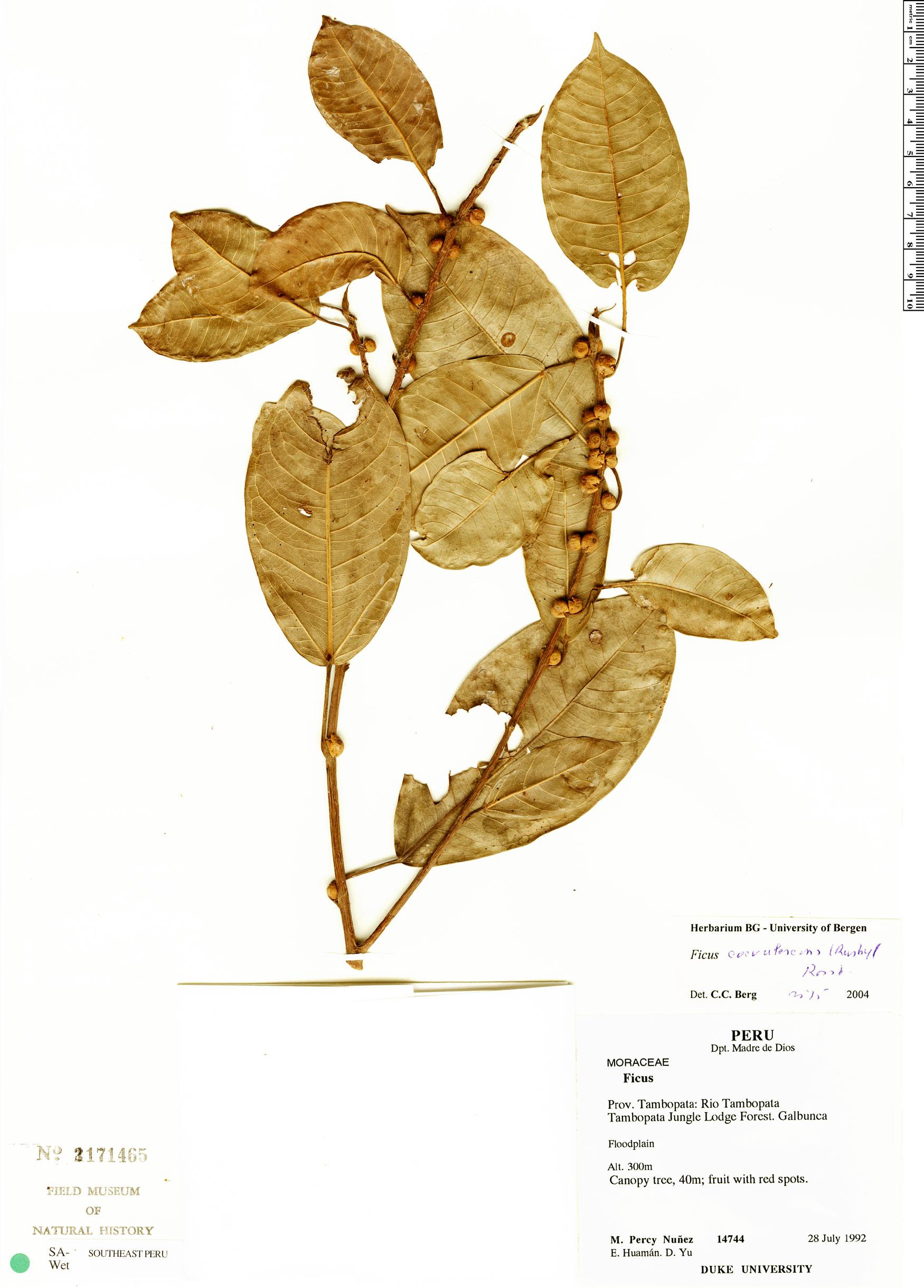 Espécime: Ficus coerulescens