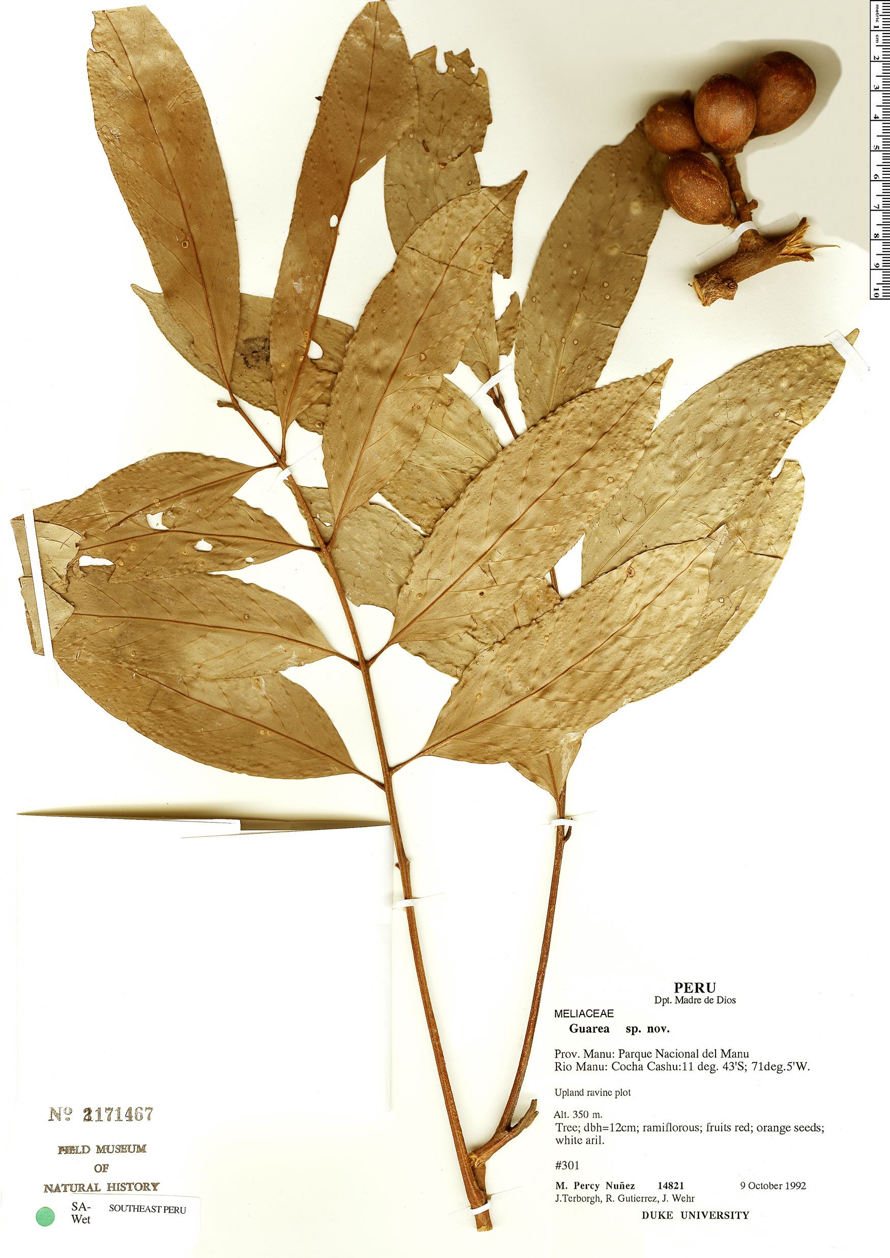 Specimen: Guarea macrophylla