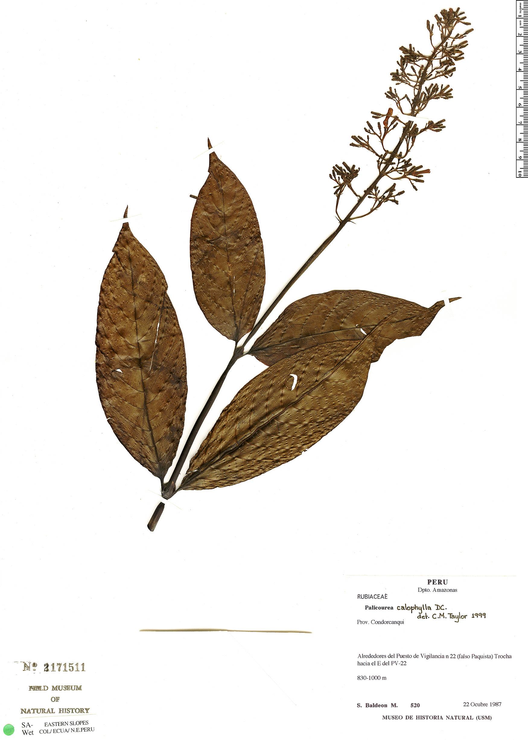 Specimen: Palicourea calophylla