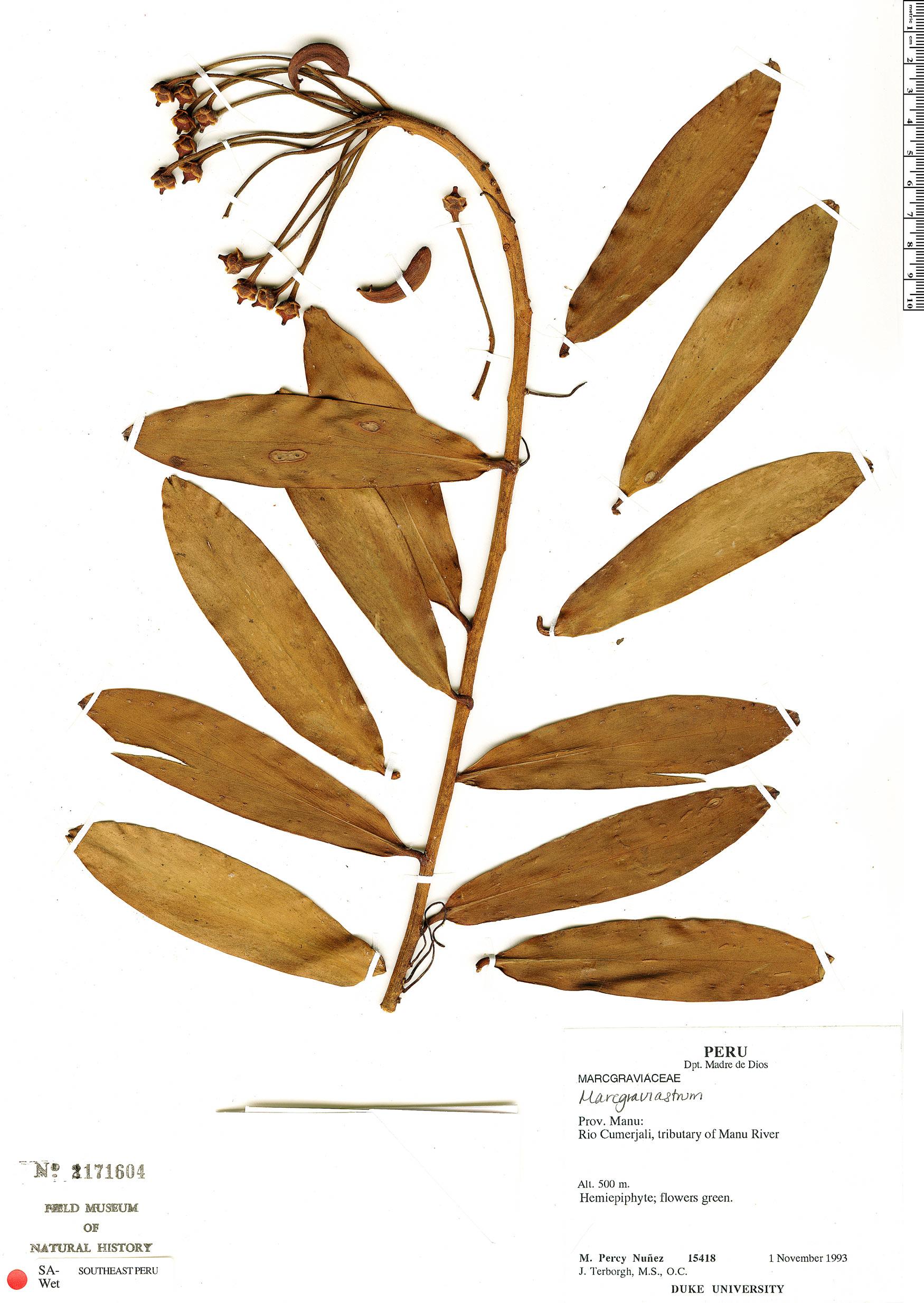 Specimen: Marcgraviastrum mixtum