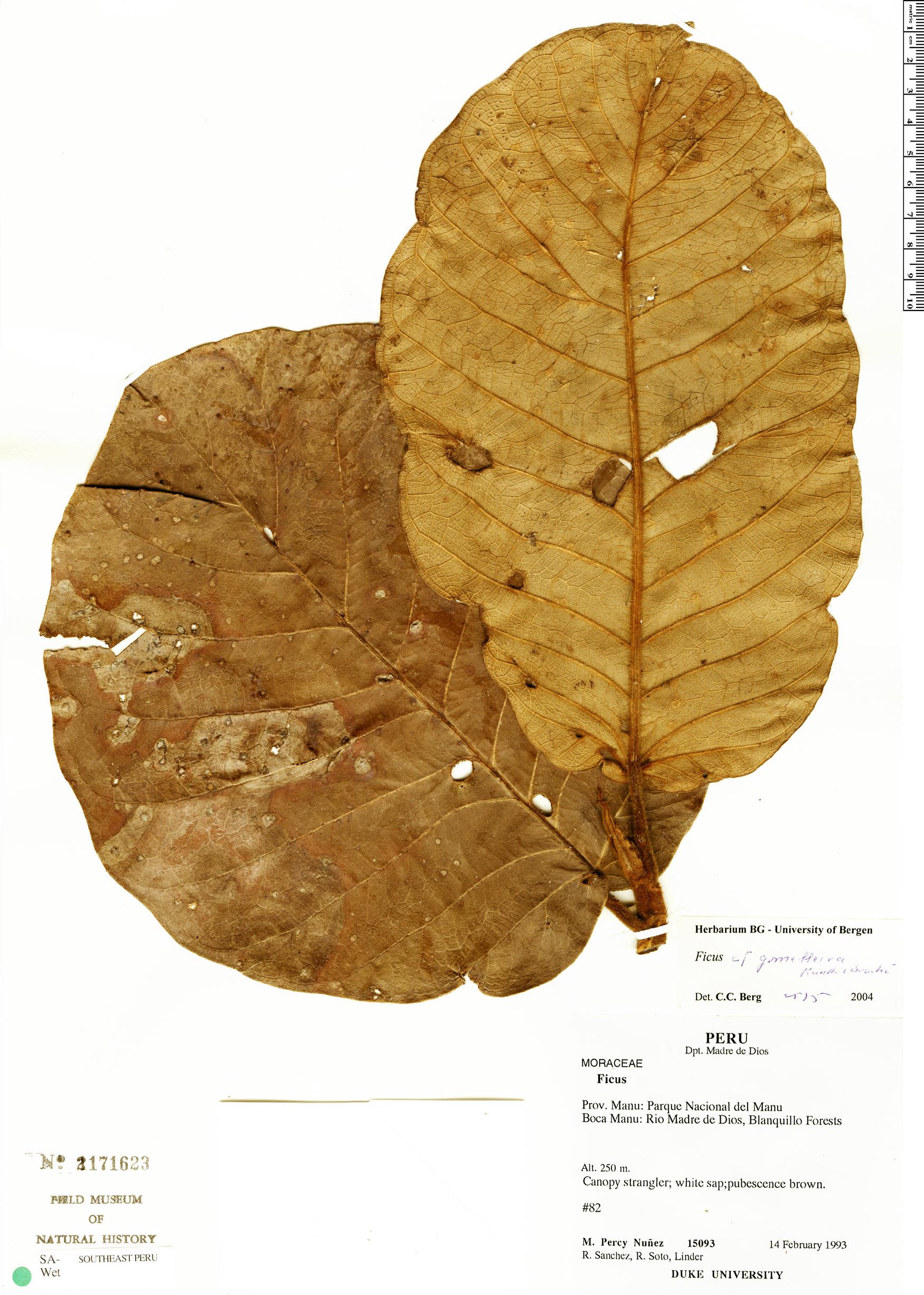 Specimen: Ficus gomelleira