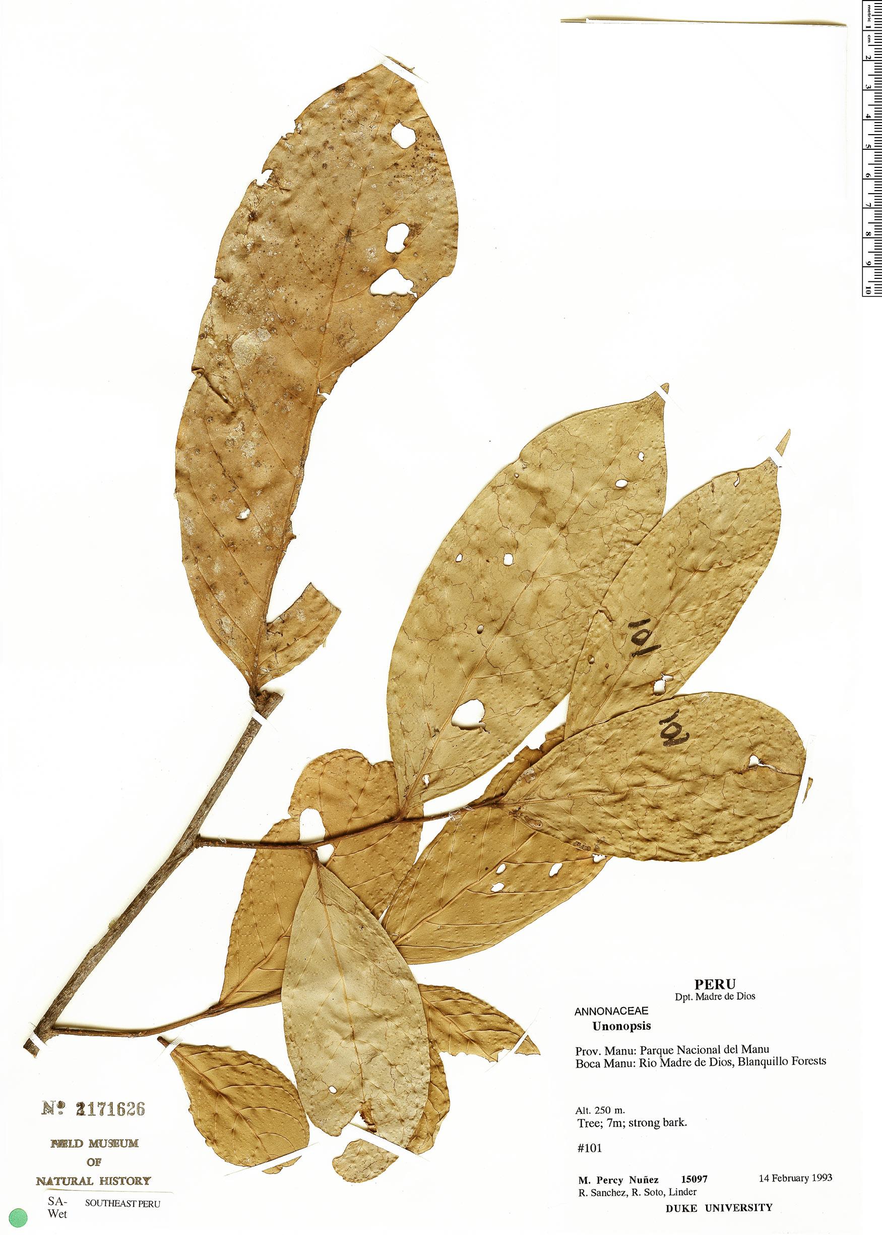 Specimen: Unonopsis guatterioides