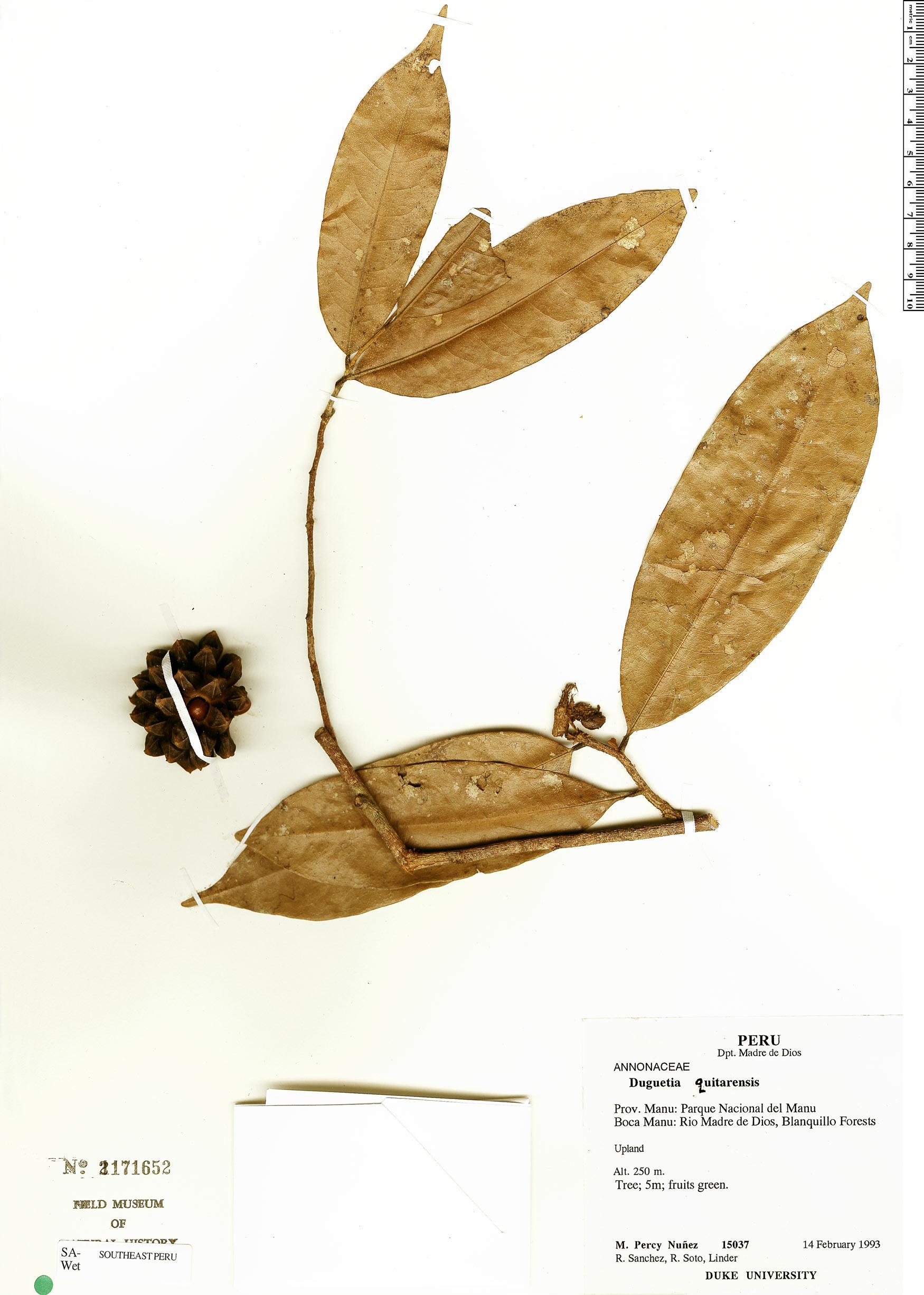 Specimen: Duguetia quitarensis