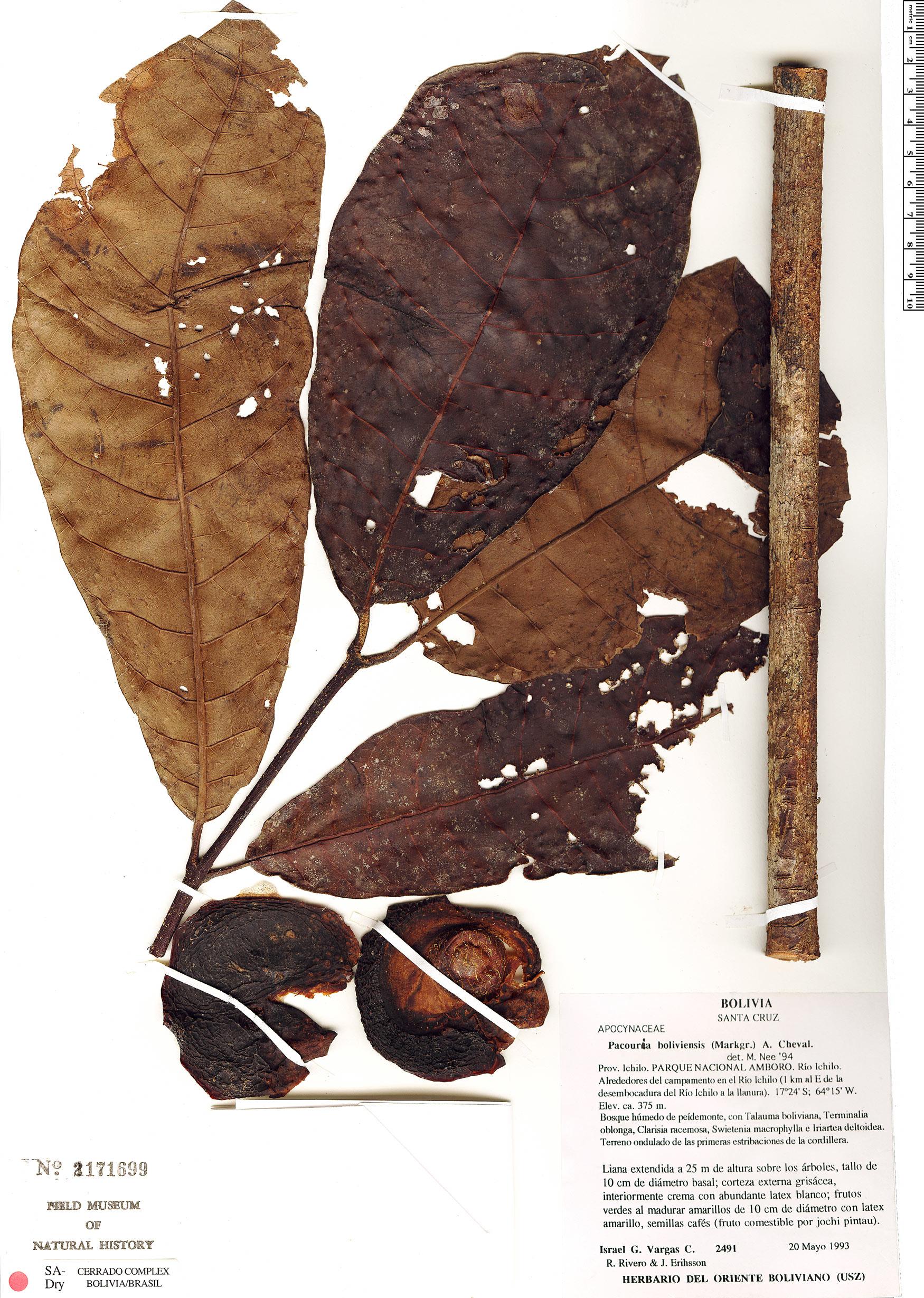 Specimen: Pacouria boliviensis