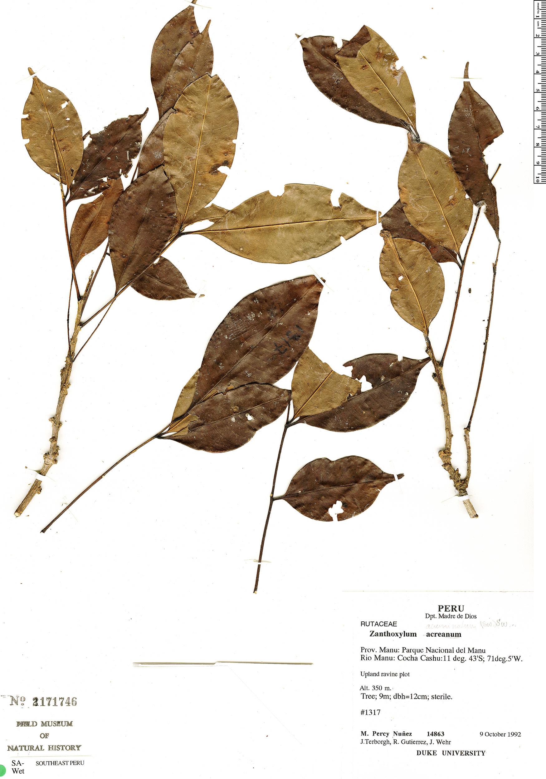 Specimen: Zanthoxylum acuminatum