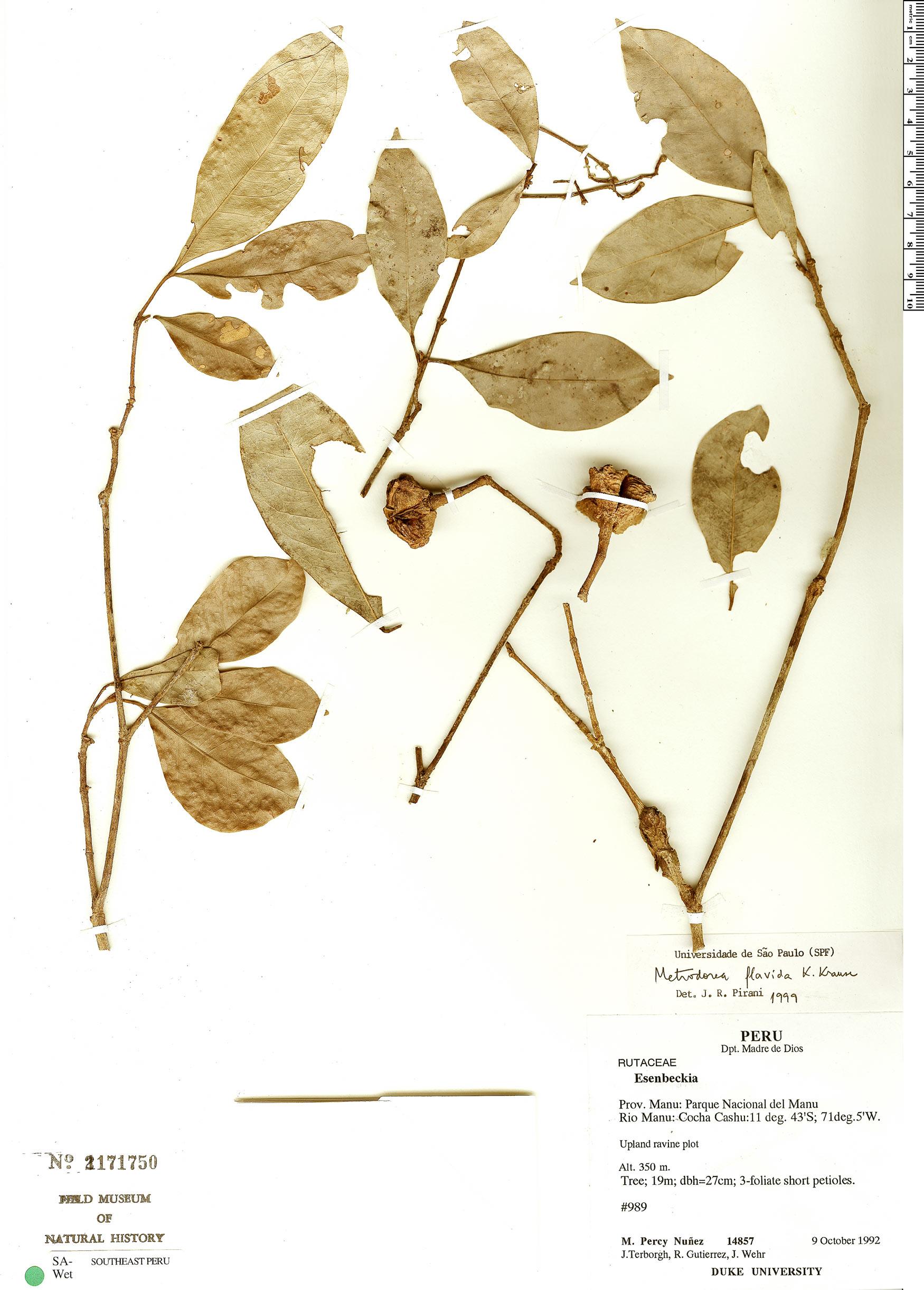 Espécimen: Metrodorea flavida