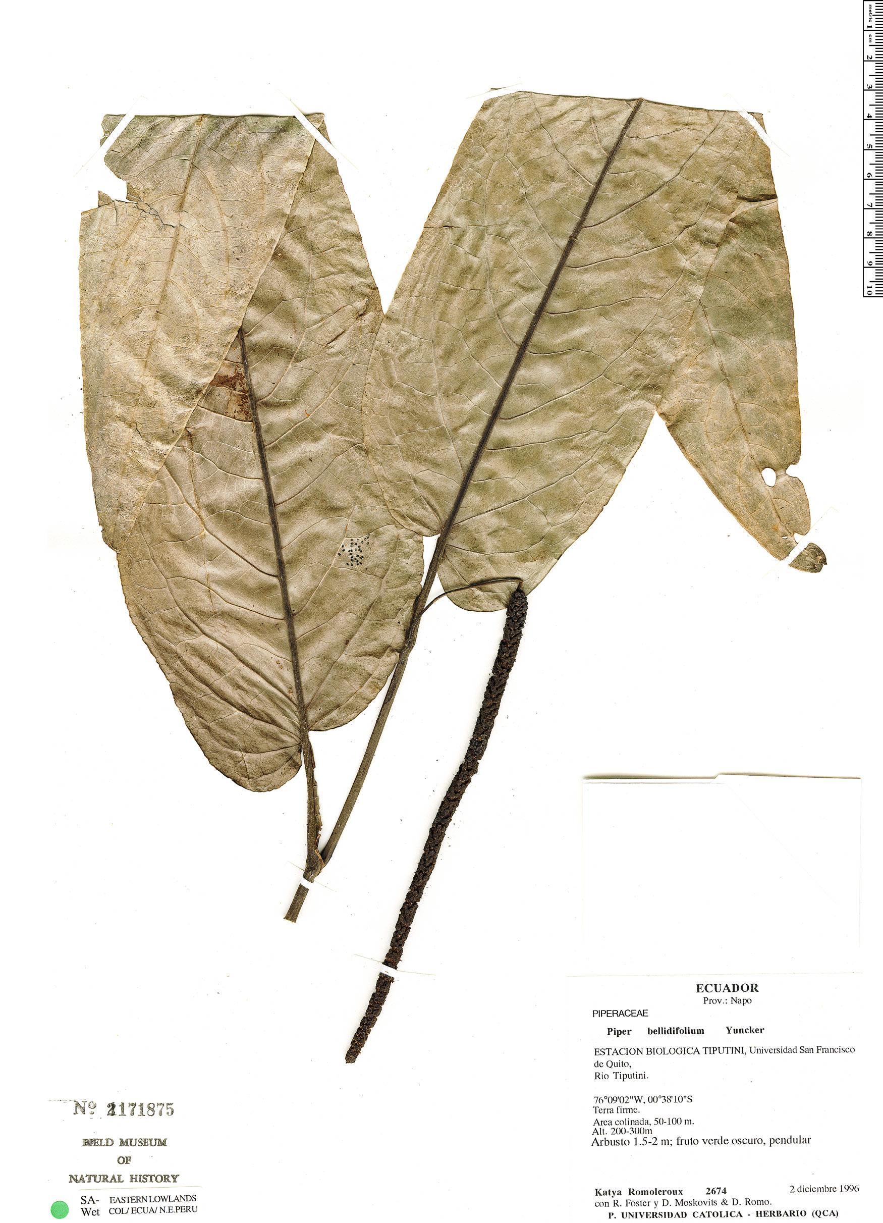 Specimen: Piper bellidifolium