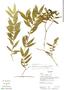 Faramea quinqueflora Poepp. & Endl., Ecuador, K. Romoleroux 2008, F