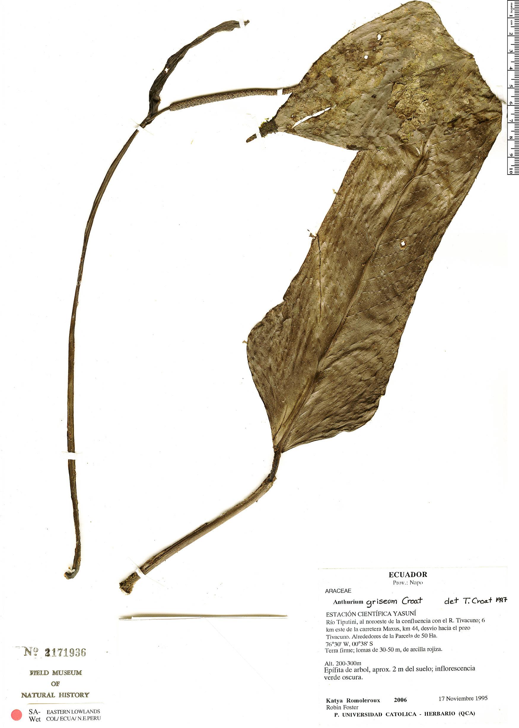 Specimen: Anthurium ceronii