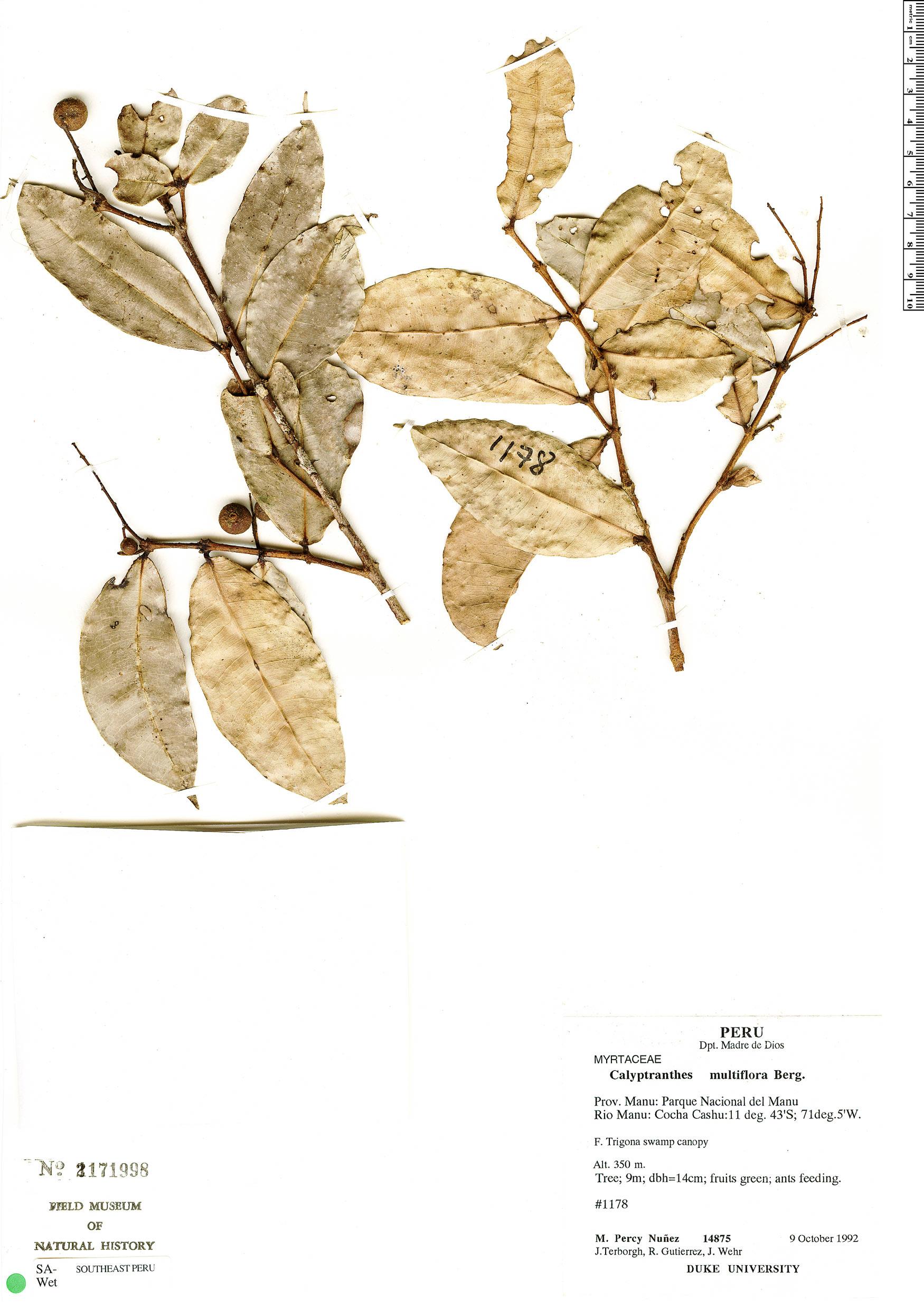 Specimen: Calyptranthes multiflora