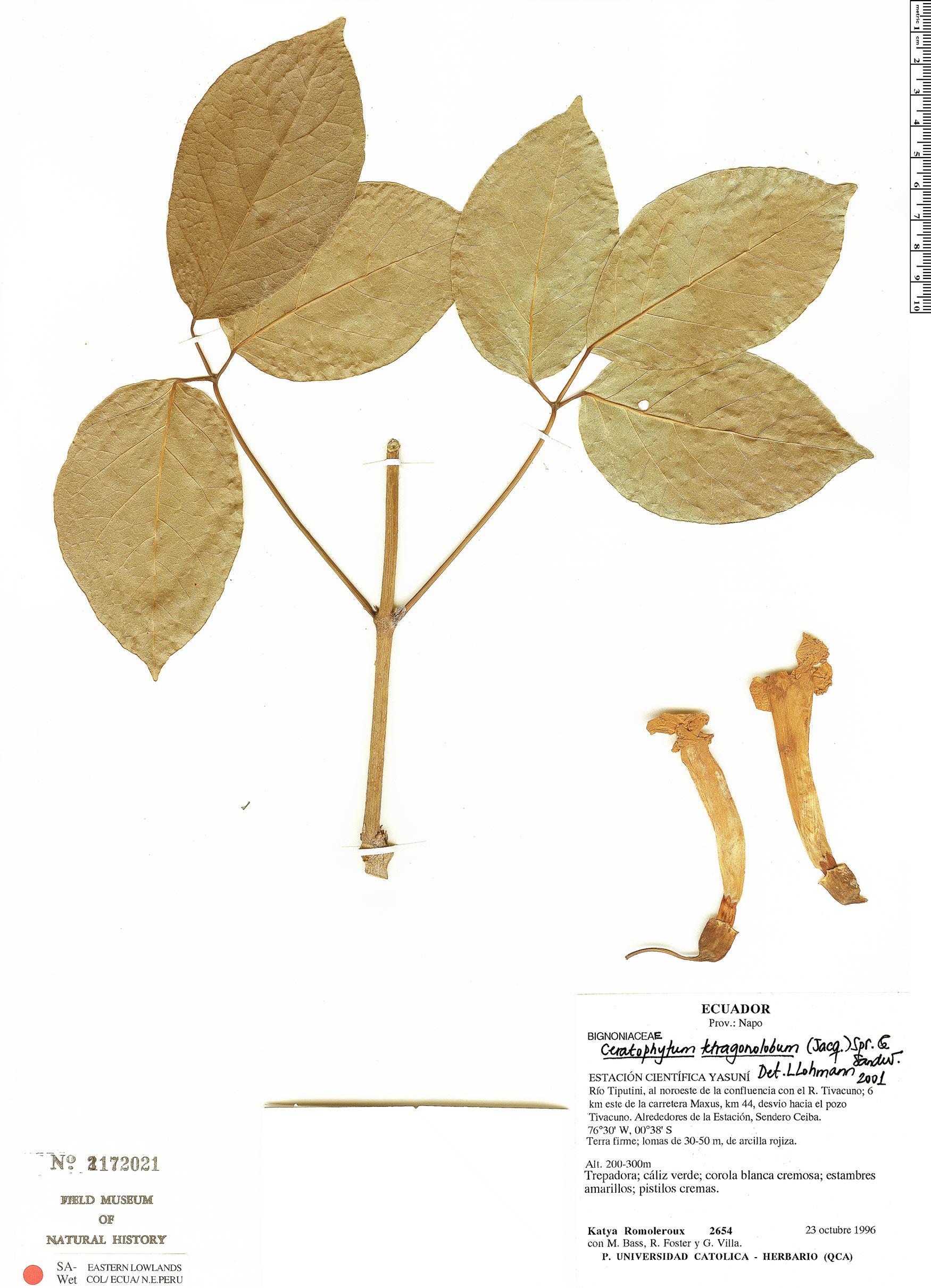 Specimen: Tanaecium tetragonolobum