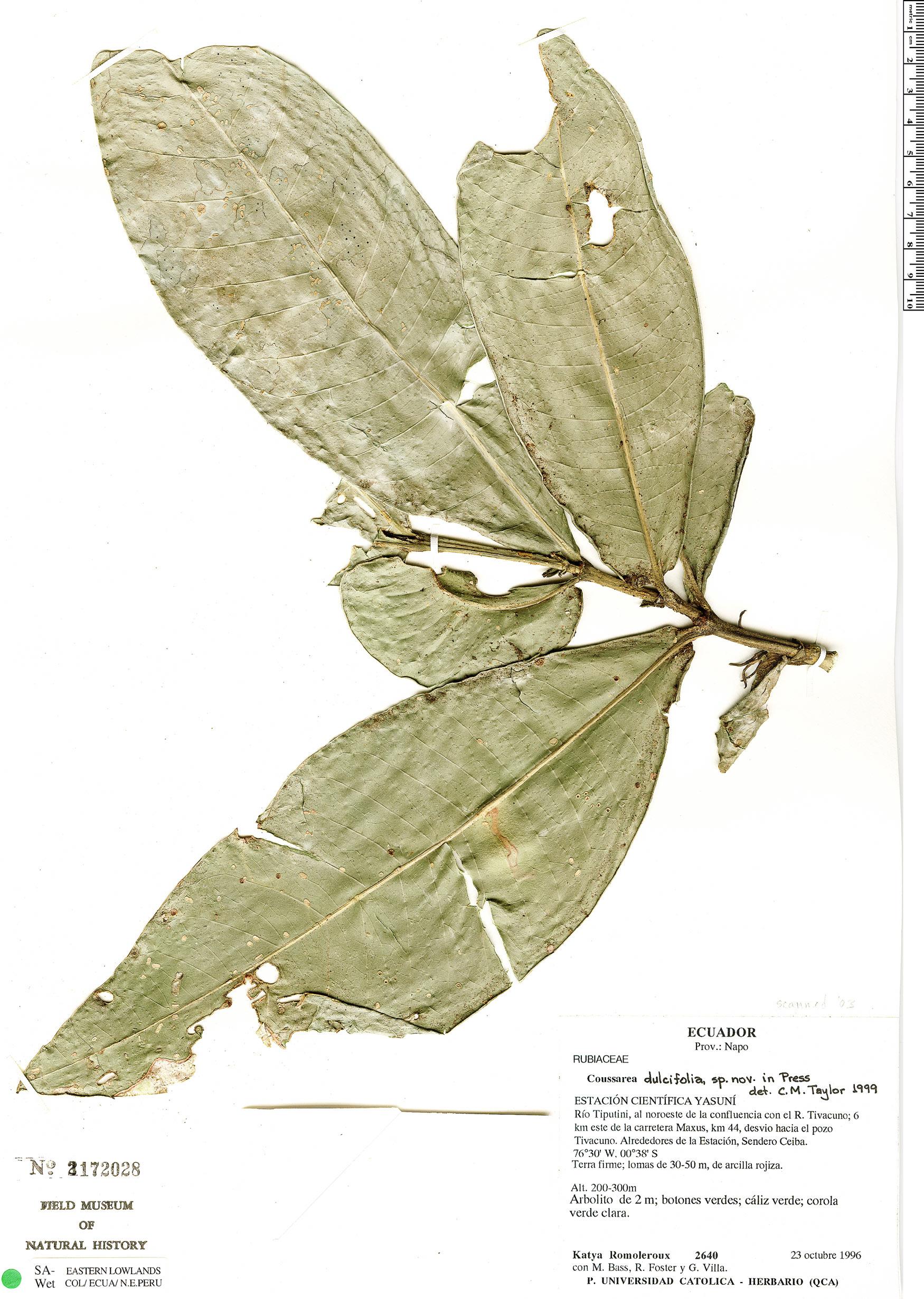 Specimen: Coussarea dulcifolia