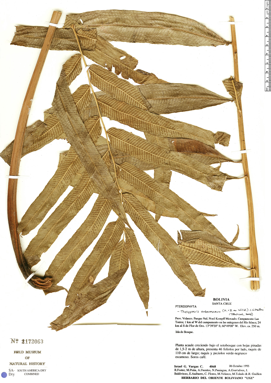 Specimen: Thelypteris arborescens