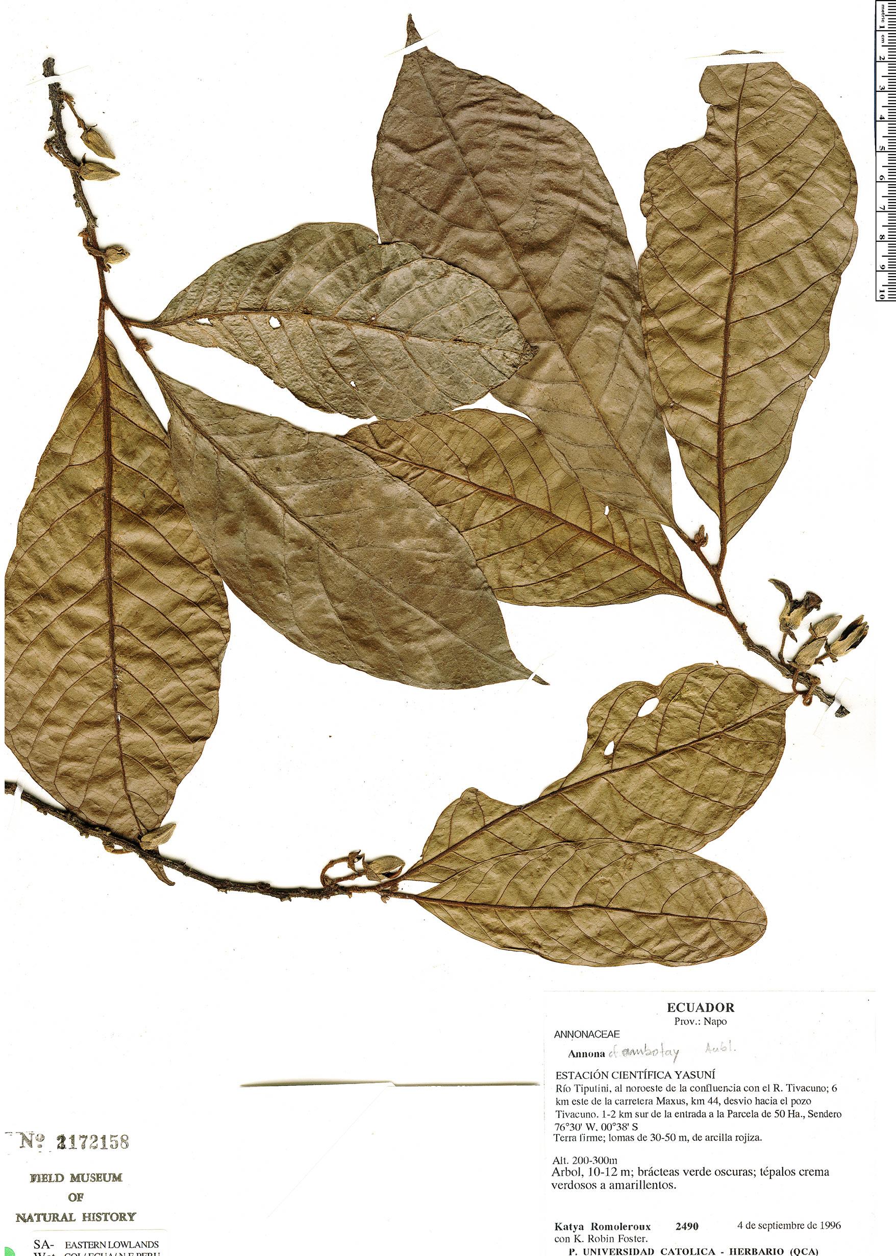 Specimen: Annona ambotay