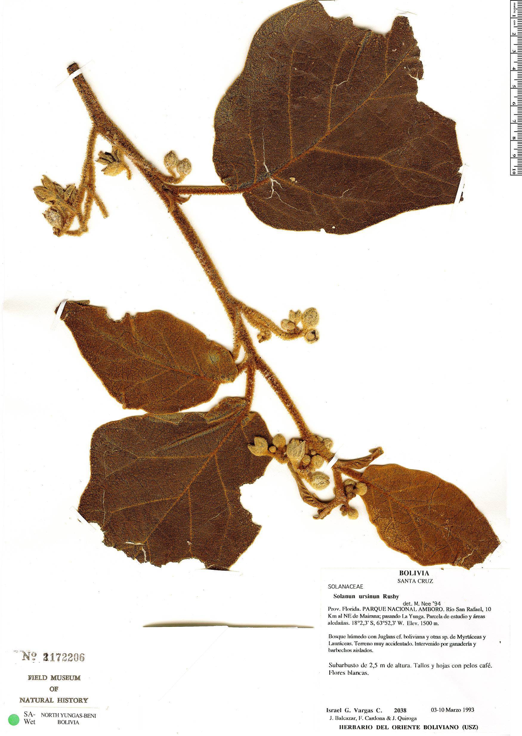 Espécimen: Solanum ursinum