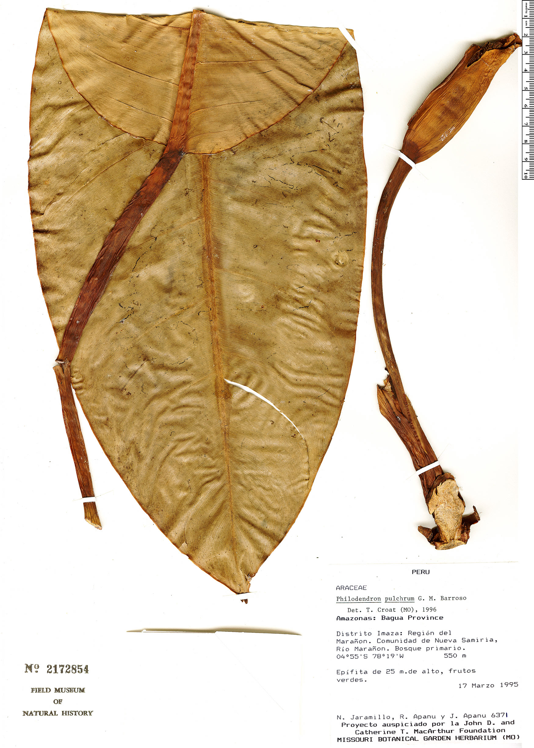 Specimen: Philodendron pulchrum