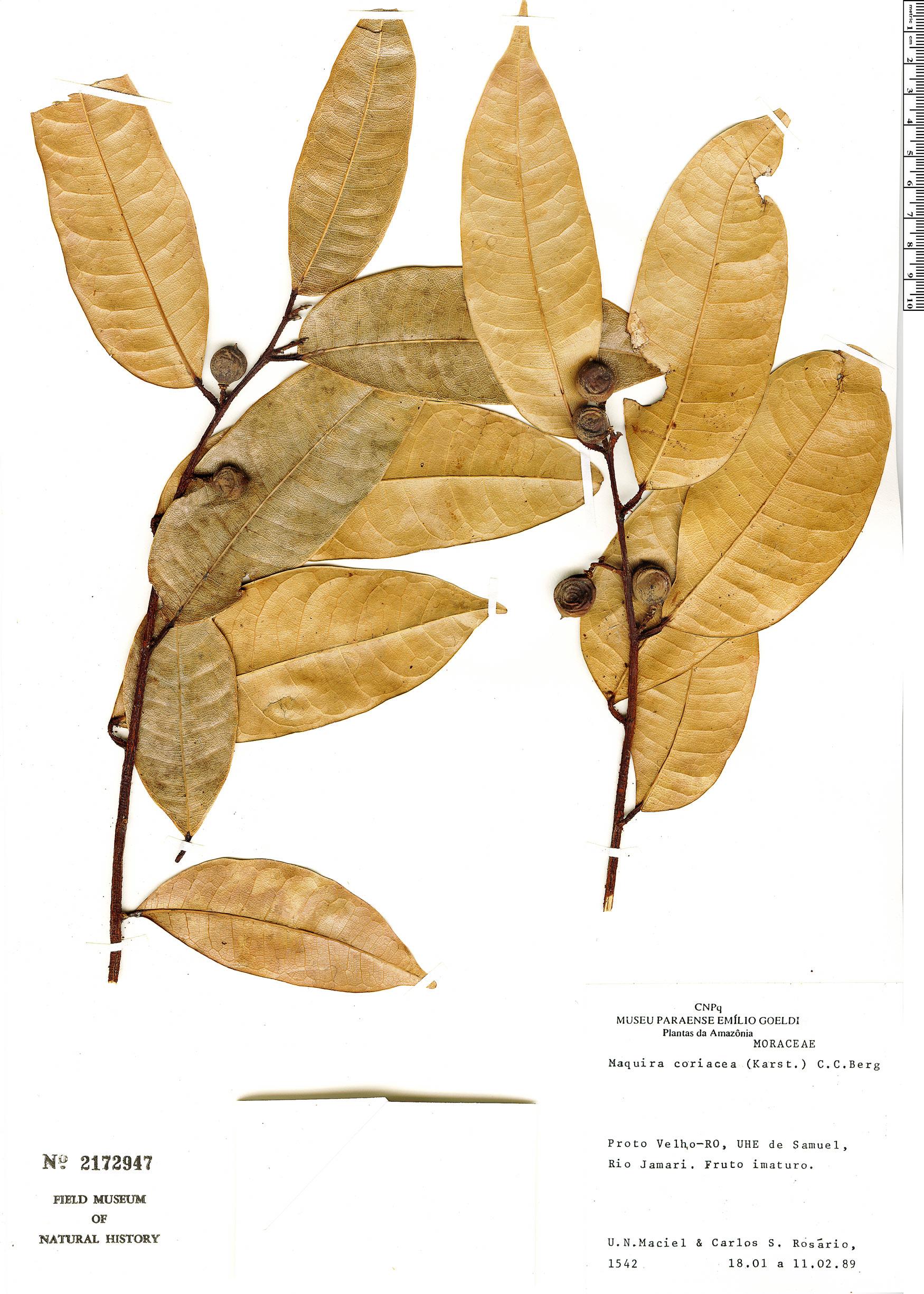 Espécimen: Maquira coriacea
