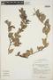 Cavendishia bracteata (Ruíz & Pav. ex J. St.-Hil.) Hoerold, PERU, A. Cano E. 2777, F