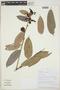 Cavendishia bracteata (Ruíz & Pav. ex J. St.-Hil.) Hoerold, PERU, E. Ortiz V. 1018, F