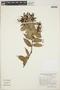Cavendishia bracteata (Ruíz & Pav. ex J. St.-Hil.) Hoerold, PERU, A. Cano E. 5335, F
