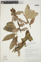 Cavendishia bracteata (Ruíz & Pav. ex J. St.-Hil.) Hoerold, PERU, F. Wolfe 12452, F