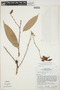 Cavendishia bracteata (Ruíz & Pav. ex J. St.-Hil.) Hoerold, PERU, T. R. Dudley 10717, F