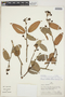 Cavendishia bracteata (Ruíz & Pav. ex J. St.-Hil.) Hoerold, PERU, A. H. Gentry 23054, F