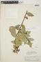 Cavendishia bracteata (Ruíz & Pav. ex J. St.-Hil.) Hoerold, PERU, J. J. Wurdack 536, F