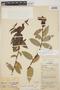 Cavendishia bracteata (Ruíz & Pav. ex J. St.-Hil.) Hoerold, PERU, F. Woytkowski 61a, F